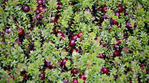 Cranberries are harvested at Elm Lake Cranberry Co. in Wisconsin Rapids, Wisconsin, U.S., on Tuesday, Sept. 27, 2011. In August the U.S. Department of Agriculture forecast the 2011 cranberry crop would be 7.50 million barrels, up 10 percent from 2010 and the second largest production on record. Photographer: Daniel Acker/Bloomberg